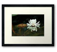 Victoria Amazonica Waterlily. Framed Print
