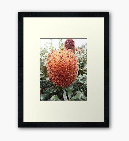 Banksia sphaerocarpa - Mt Barker, WA Framed Print