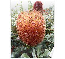 Banksia sphaerocarpa - Mt Barker, WA Poster