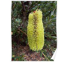 Banksia praemorsa at Mt  Barker, Western Australia Poster