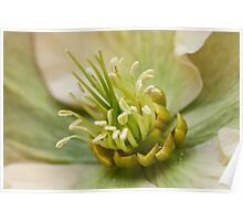 Inside World Of The Hellebore Poster