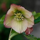 Single Apricot Hellebore by edesigns14