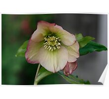 Single Apricot Hellebore Poster