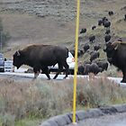 Buffalo Traffic Hazard by Jennifer Heseltine