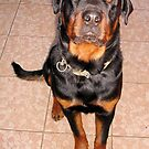 Portrait Of A Young Rottweiler Male Sitting by taiche
