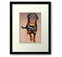 Portrait Of A Young Rottweiler Male Sitting Framed Print