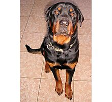 Portrait Of A Young Rottweiler Male Sitting Photographic Print