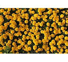 Yellow Marigolds Photographic Print