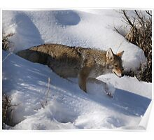 Winter Coyote in Northern Yellowstone Poster