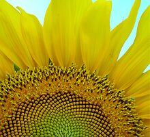Sunflower by sstruse