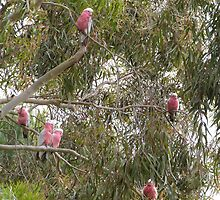 Galah's were tucked up on a cold Spring morning. Mt. Pleasant. by Rita Blom