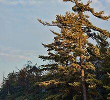 Muskoka Pine by jules572