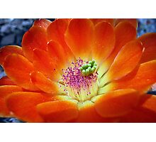 Hedgehog Cactus Floral Flame Photographic Print