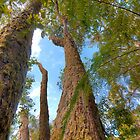 Antarctic Beech Trees by Dean Bailey