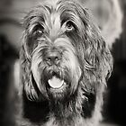 Brown Roan Italian Spinone by heidiannemorris