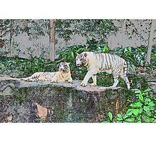 White Tigers Photographic Print