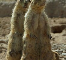 Black-tailed Prairie Dogs~ I got your Back! by Kimberly Chadwick