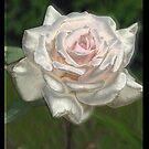 Silk Rose by DawnCooke