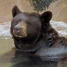 Bathing Black Bear by Kimberly Chadwick
