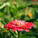 Lone Zinnia by Linda  Makiej