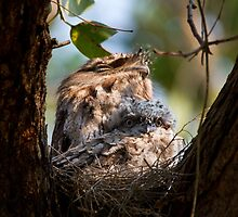 Curious Frogmouth Chick by byronbackyard