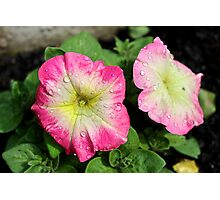 Petunia pink flowers Photographic Print