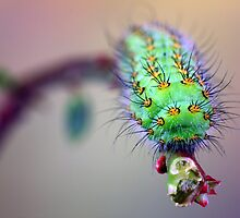 Saturnia pavonia caterpillar by jimmy hoffman