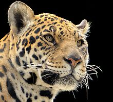 Jaguar by Thea 65