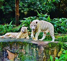 White Tigers by Fike2308