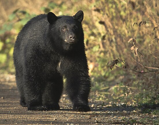 black bear on road by j Kirk Photography                      Kirk Friederich
