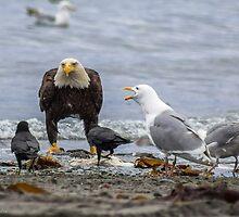 American Bald Eagle by yellocoyote
