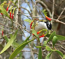 White-throated Honeyeater by JLOPhotography