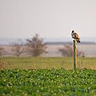 Buzzard on a Stick by WhyteAugust