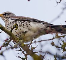 Fieldfare on a Twig by WhyteAugust