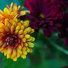 autumn mums.. by JOSEPHMAZZUCCO