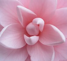 Perfect Pink Flower - Camellia  by Maddy O'Brien