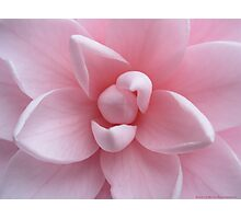Perfect Pink Flower - Camellia  Photographic Print