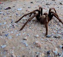 Tarantula a Creepin' by Kimberly Chadwick