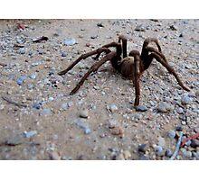 Tarantula a Creepin' Photographic Print