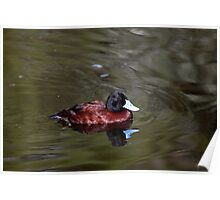 Blue-Billed Duck Poster