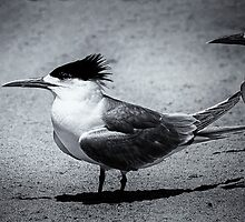 Monochrome crested tern by Jennie  Stock