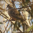 Mourning Dove by Kimberly Chadwick