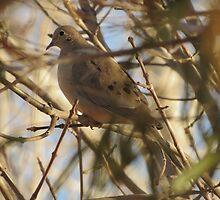 Mourning Dove by Kimberly Chadwick