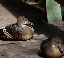 Plumed Whistling Duck by Margot Kiesskalt