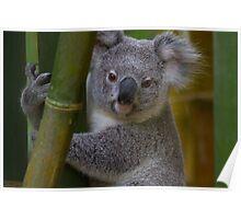 My Backyard Koala Bear Poster