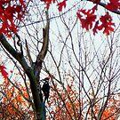 Pileated Woodpecker in Autumn  by TrendleEllwood