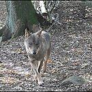 """""""  I saw a Wolf"""" by mrcoradour"""
