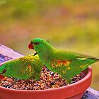 Scaly Breasted Lorikeet by wallarooimages