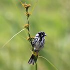 New Holland Honey-Eater by Margot Kiesskalt