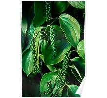 Peppercorn Plants - Far North Queensland Poster